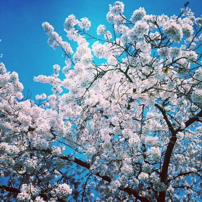picture of cherry blossoms against a blue sky in Vancouver